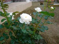 Rosezen02