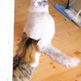 """[""""大福""""と呼ばれた猫]"""