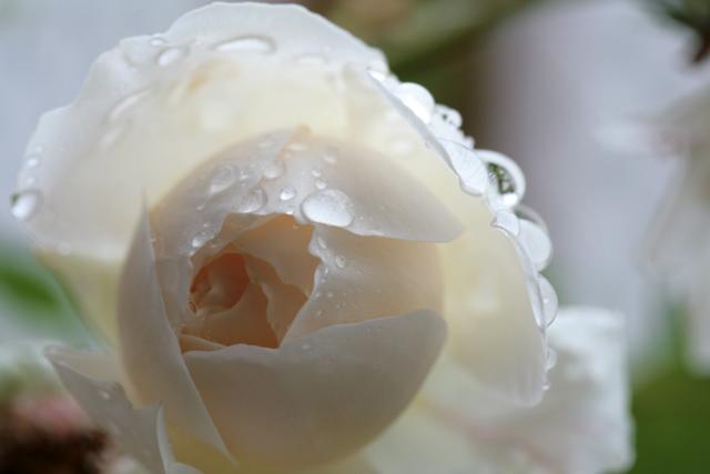 [雨に濡れたバラ〜rose marie〜]